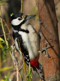 Great Spotted Woodpecker. On the tree Stock Photos