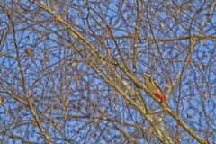 Great spotted woodpecker and tree Stock Images