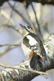 Great Spotted Woodpecker on a tree / Dendrocopos major. A male of Great Spotted Woodpecker on a tree / Dendrocopos major Royalty Free Stock Images