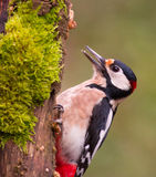 Great-spotted Woodpecker on tree with moss Royalty Free Stock Image
