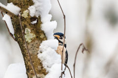 Great spotted woodpecker Royalty Free Stock Photos