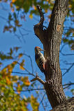 Great spotted woodpecker . Stock Photos