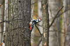 Great spotted woodpecker . Royalty Free Stock Photography