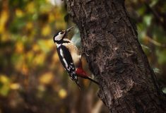 Great spotted woodpecker on a trunk in a forest near the river Sile Treviso, Italy. Autumn colours in the backgroud stock image