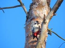 Great spotted woodpecker on trunk of tree Minsk, Belarus stock photos