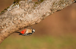 Great Spotted Woodpecker under log Royalty Free Stock Photo