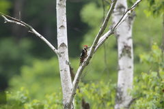 Great spotted woodpecker on the white birch Stock Photography