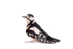 Great Spotted Woodpecker on white Royalty Free Stock Image