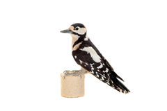 Great Spotted Woodpecker on white Stock Photo