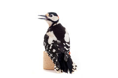 Great Spotted Woodpecker on white Stock Photography