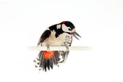 Great Spotted Woodpecker on white Stock Image