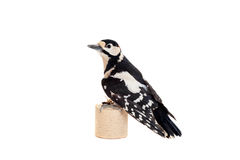 Great Spotted Woodpecker on white Royalty Free Stock Images