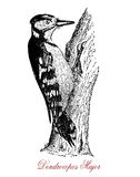 Great spotted woodpecker,  wildlife vintage engraving Royalty Free Stock Image