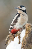 Great spotted woodpecker in winter Stock Image