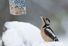 Great Spotted Woodpecker in wintertime. Looking at bird feeder royalty free stock photography