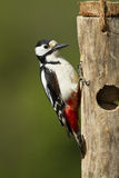 Great Spotted Woodpecker on wooden fatball feeder. Taken in vertical format in sunlight with a natural out of focus green background Stock Photo