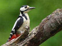 Great spotted woodpeckers are beautiful birds as you can see. Great Spotted Woodpeckers are beautiful birds and funny to see doing there thing Stock Images