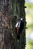 Great-spotted woodpeckers feeding Royalty Free Stock Image
