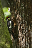 Great-spotted woodpeckers feeding Royalty Free Stock Photo