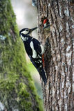 Great-spotted woodpeckers feeding youngs at the nest. Stock Photo