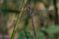 Great Spreadwing Stock Photos