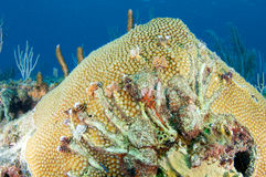 Great Star Coral with Christmas Tree Worms Royalty Free Stock Photography
