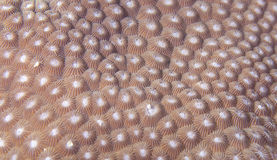 Great star coral  (closeup) Royalty Free Stock Photo
