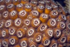 Great star coral (Montastraea cavernosa) Royalty Free Stock Image