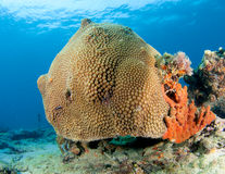 Great Star Coral Mound Royalty Free Stock Photos