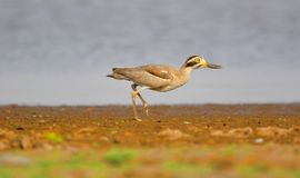 Great stone curlew bird. Walking on the river bank stock image