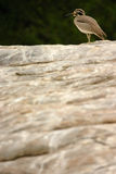 Great Stone Plover. Perched on a rock at Ranganthittu national park Royalty Free Stock Images