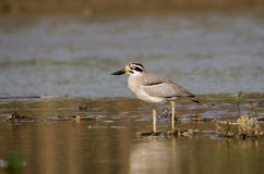Great Stone-Plover Stock Photo