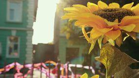 Great sunflower surrounded by noisy event and different buildings. stock video footage