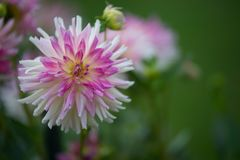 Purple and yellow pink dahlia on white and light green background in summer in a garden royalty free stock photo