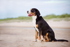 Great swiss mountain dog on the beach Stock Photos