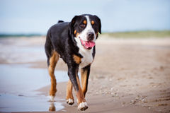 Great swiss mountain dog on the beach Stock Image