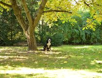 Great Swiss Mountain Dog in the Garden. royalty free stock photos