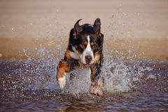 Great swiss mountain dog running on the beach Royalty Free Stock Image