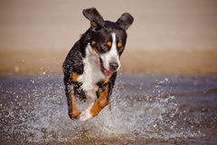 Great swiss mountain dog running on the beach Royalty Free Stock Photography