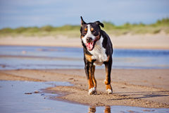 Great swiss mountain dog running on the beach Stock Photography