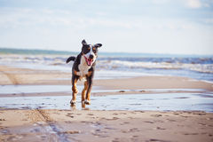 Great swiss mountain dog running on the beach Royalty Free Stock Photo