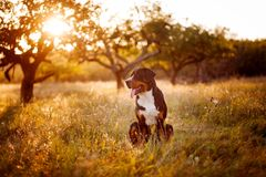 Great swiss mountain dog walking outdoors in sunset royalty free stock image