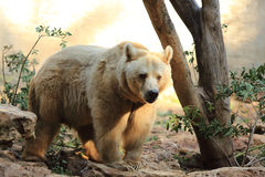 Great Syrian bear in the sun Royalty Free Stock Images