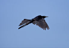 Great-tailed Grackle Royalty Free Stock Photo