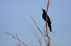 Great-tailed Grackle Royalty Free Stock Images