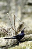 Great Tailed Grackle Stock Photography