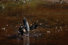Great Tailed Grackle bathing Stock Image