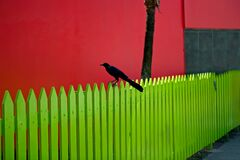 Free Great-tailed Grackle Black Bird On Yellow Wooden Picket Fence With Bright Red Building In Belize City, Belize Stock Image - 191696941