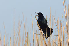 Great-tailed Grackle Calling - Texas. Great-tailed Grackle (Quiscalus mexicanus) Singing on Territory - Sea Rim State Park, Texas Stock Image