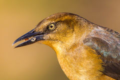 Great-Tailed Grackle Stock Photography